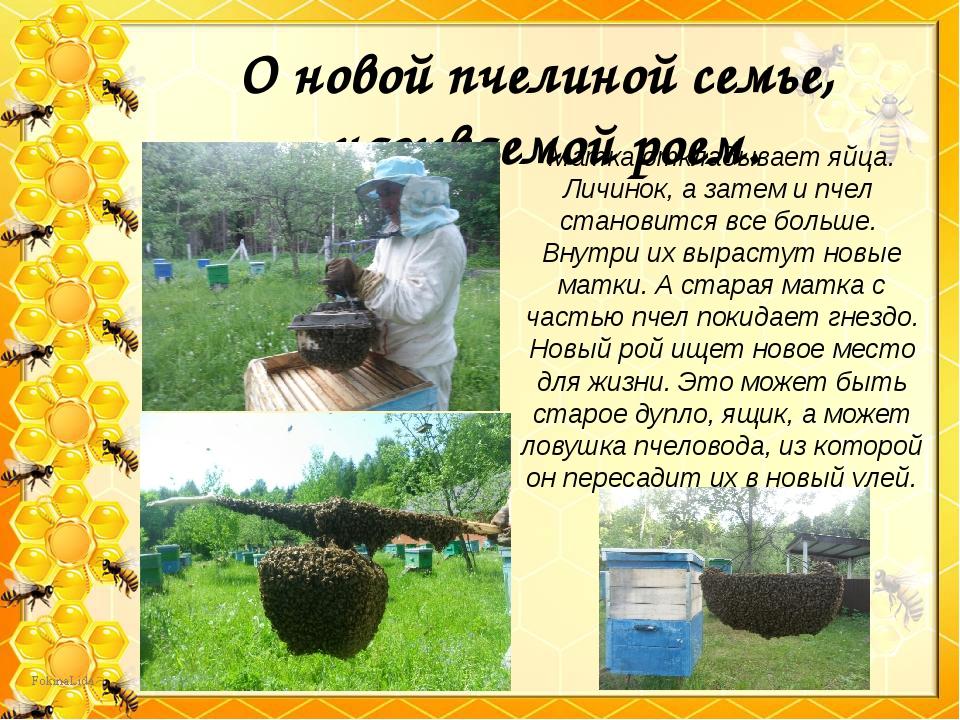 О новой пчелиной семье, называемой роем. Матка откладывает яйца. Личинок, а з...