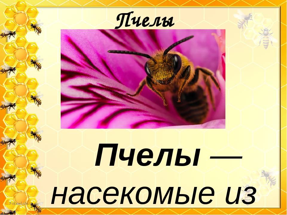 Пчелы Пчелы — насекомые из семейства перепончатокрылых, с брюшком золот...