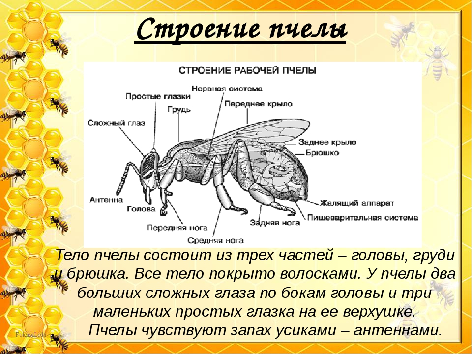 Строение пчелы Тело пчелы состоит из трех частей – головы, груди и брюшка. Вс...