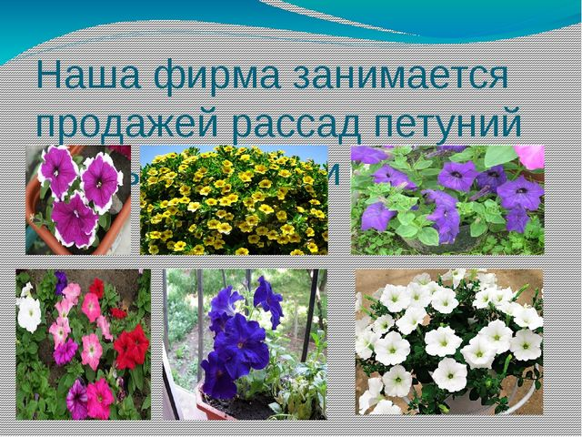 Наша фирма занимается продажей рассад петуний разных сортов и видов.