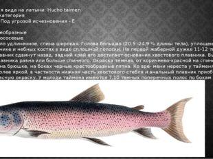Таймень Наименования вида на латыни: Hucho taimen Категория: I категория Стат