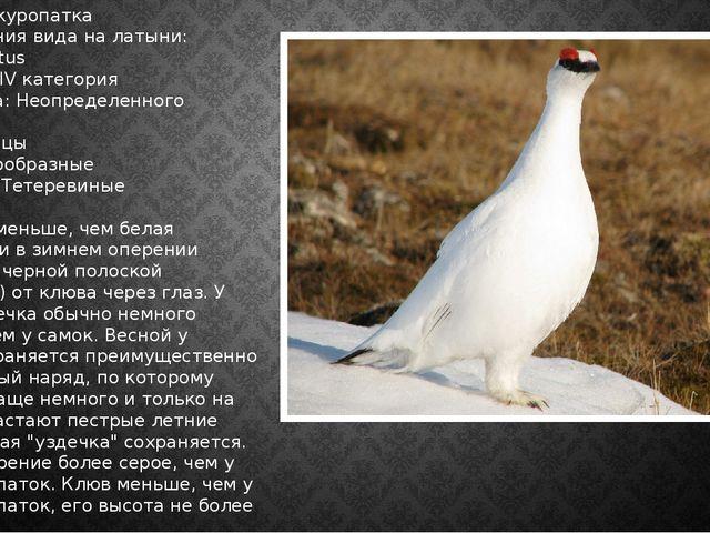 Тундряная куропатка Наименования вида на латыни: Lagopus mutus Категория: IV...