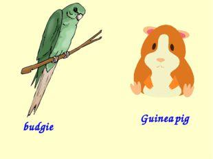 budgie Guinea pig
