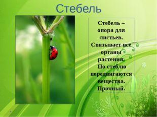 Стебель Стебель – опора для листьев. Связывает все органы растения. По стеблю
