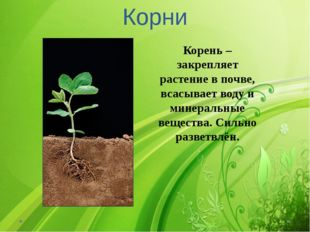 Корни Корень – закрепляет растение в почве, всасывает воду и минеральные веще