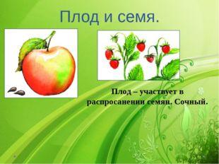 Плод и семя. Плод – участвует в распросанении семян. Сочный.