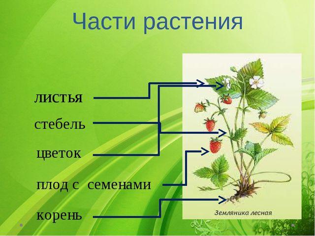 Части растения листья стебель цветок плод с семенами корень