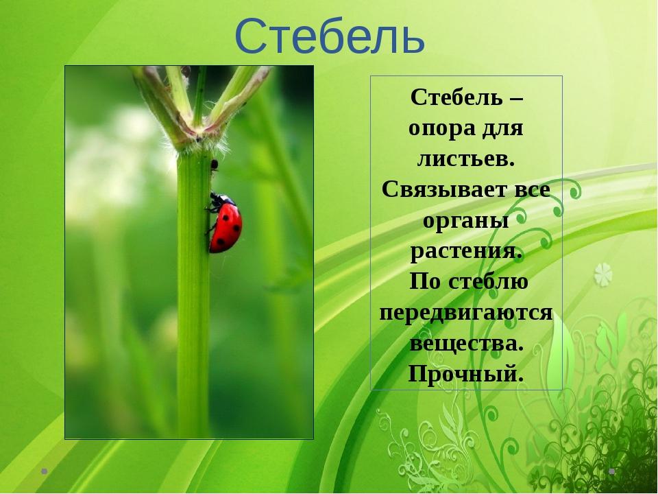 Стебель Стебель – опора для листьев. Связывает все органы растения. По стеблю...