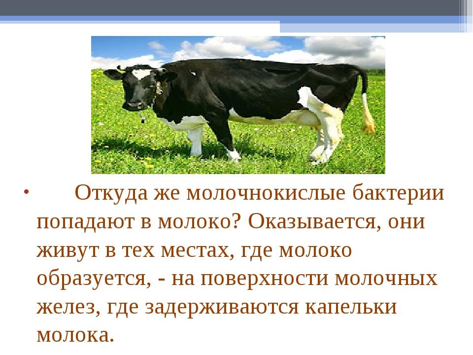 Откуда же молочнокислые бактерии попадают в молоко? Оказывается, они...