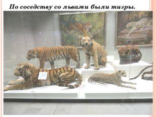 По соседству со львами были тигры.