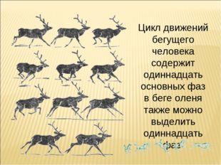 Цикл движений бегущего человека содержит одиннадцать основных фаз в беге олен