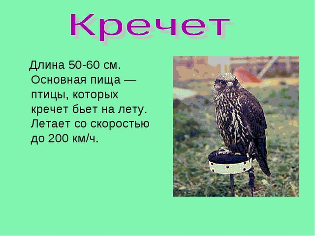 Длина 50-60 см. Основная пища — птицы, которых кречет бьет на лету. Летает с...