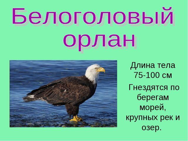 Длина тела 75-100 см Гнездятся по берегам морей, крупных рек и озер.