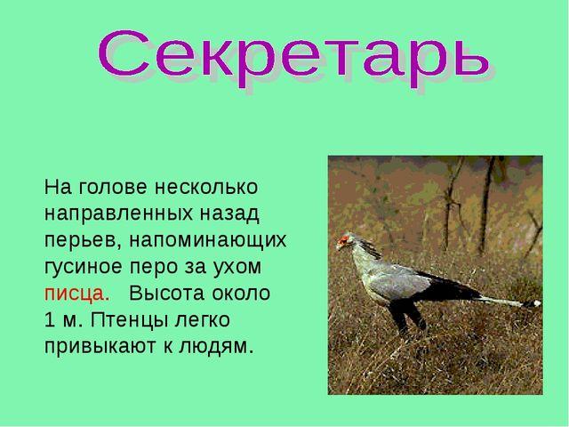 На голове несколько направленных назад перьев, напоминающих гусиное перо за у...
