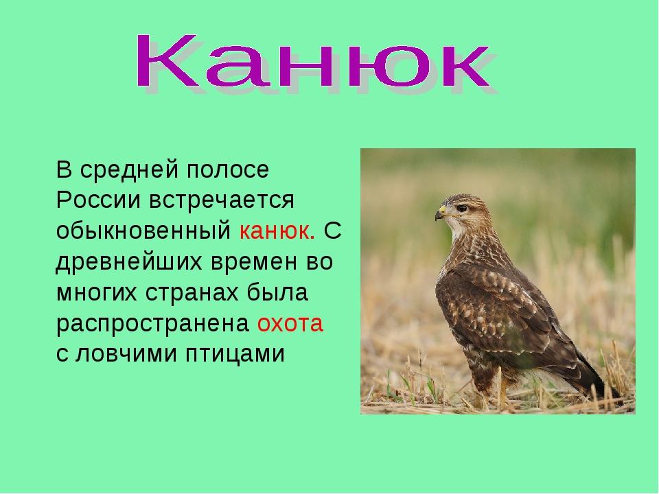 В средней полосе России встречается обыкновенный канюк. С древнейших времен в...