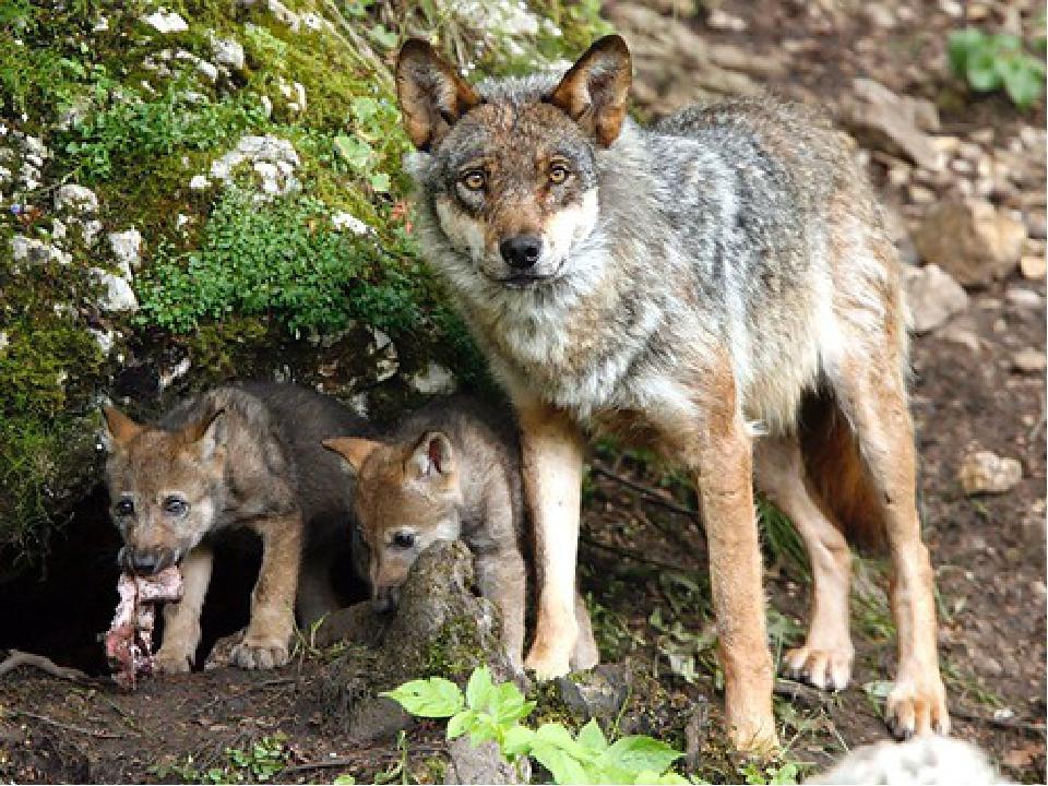 картинки с волчатами волчонок