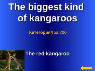 The biggest kind of kangaroos The red kangaroo Категория4 за 200