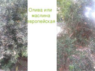Олива или маслина европейская