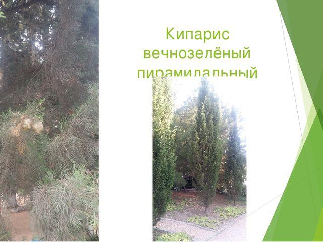 Кипарис вечнозелёный пирамидальный