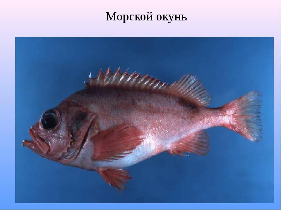 полив морской окунь картинки с описанием все