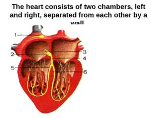The heart consists of two chambers, left and right, separated from each other