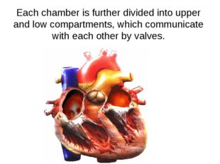 Each chamber is further divided into upper and low compartments, which commun