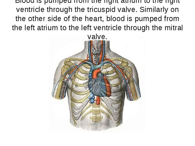 Blood is pumped from the right atrium to the right ventricle through the tric...