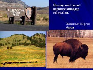 Жайылып жүрген бизон Йеллоустон ұлттық паркінде бизондар сақталған.