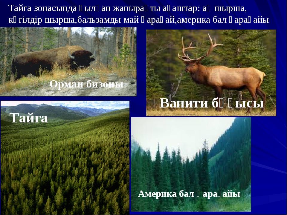 Тайга Тайга зонасында қылқан жапырақты ағаштар: ақ шырша, көгілдір шырша,баль...