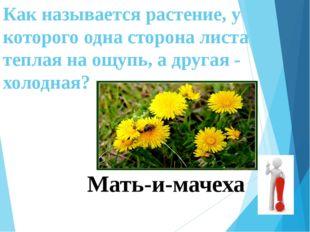 Как называется растение, у которого одна сторона листа теплая на ощупь, а дру