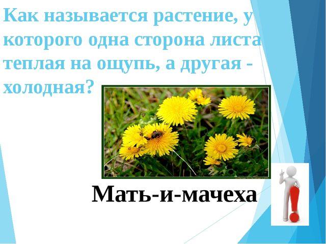 Как называется растение, у которого одна сторона листа теплая на ощупь, а дру...