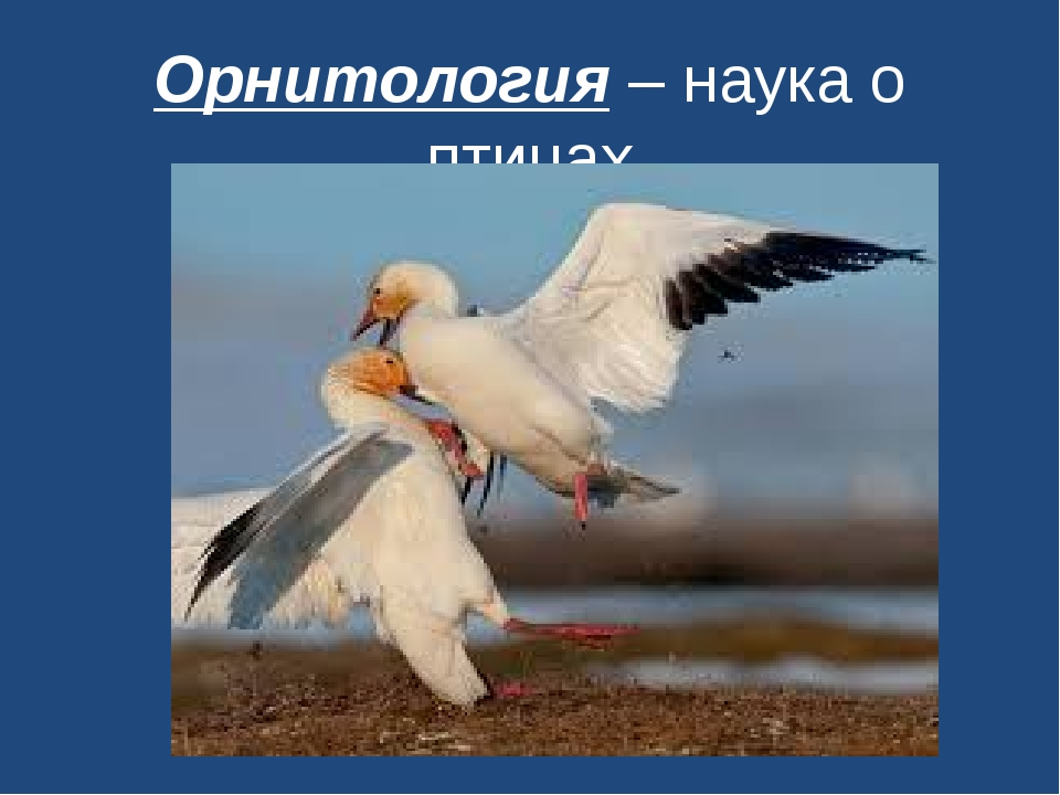 Орнитология – наука о птицах