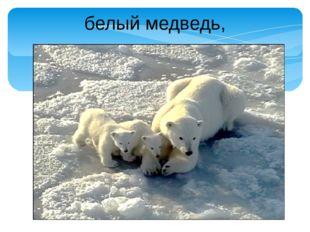 белый медведь,
