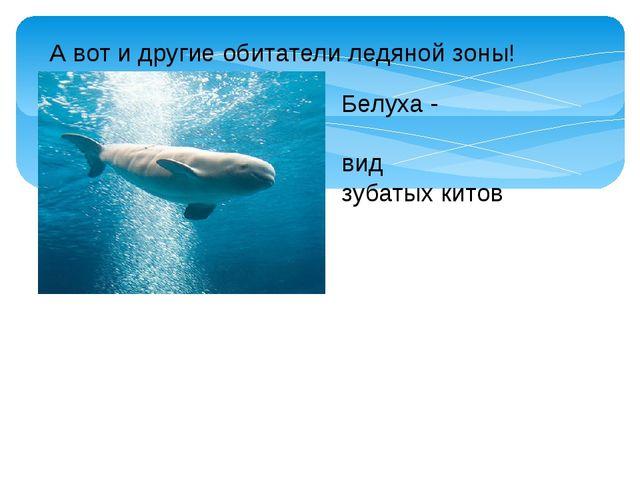 А вот и другие обитатели ледяной зоны! Белуха - видзубатых китов
