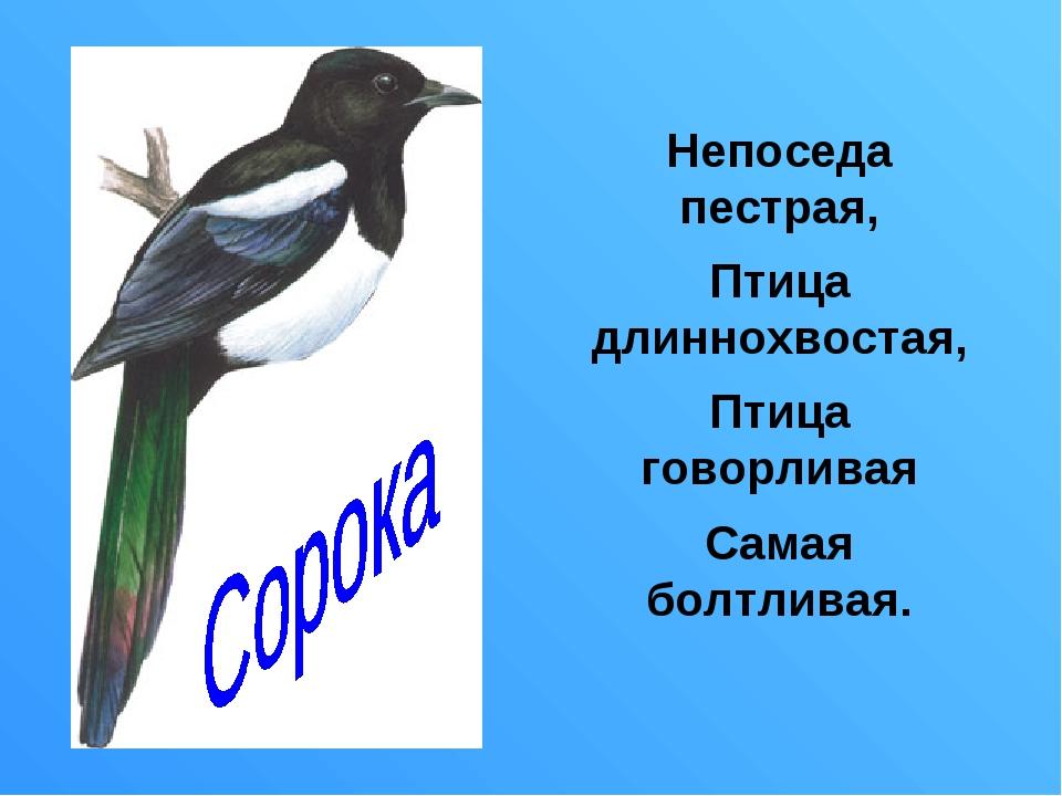 Непоседа пестрая, Птица длиннохвостая, Птица говорливая Самая болтливая.