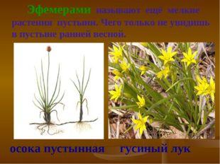 Эфемерами называют ещё мелкие растения пустыни. Чего только не увидишь в пус
