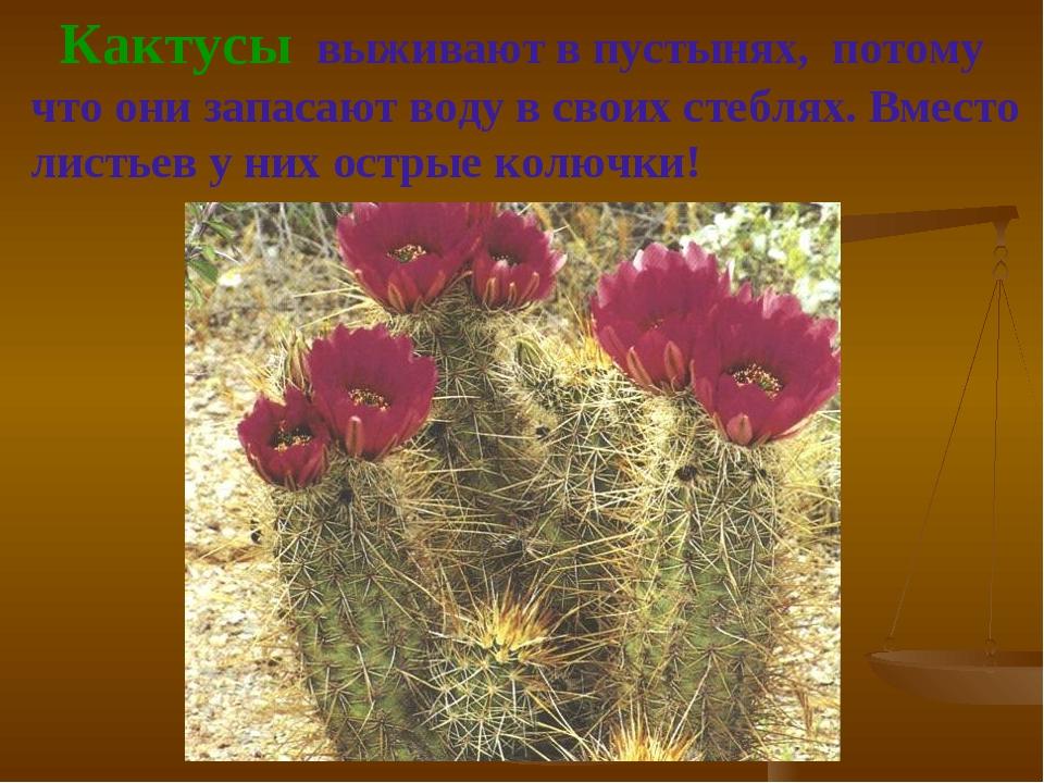 Кактусы выживают в пустынях, потому что они запасают воду в своих стеблях. В...