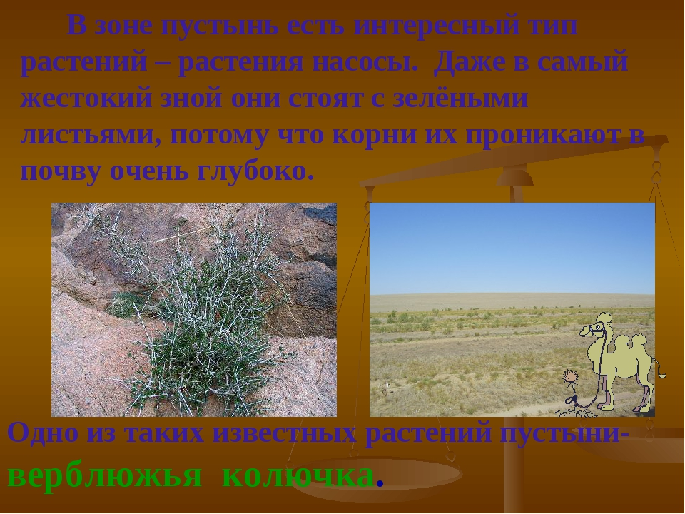 Одно из таких известных растений пустыни- верблюжья колючка. В зоне пустынь е...