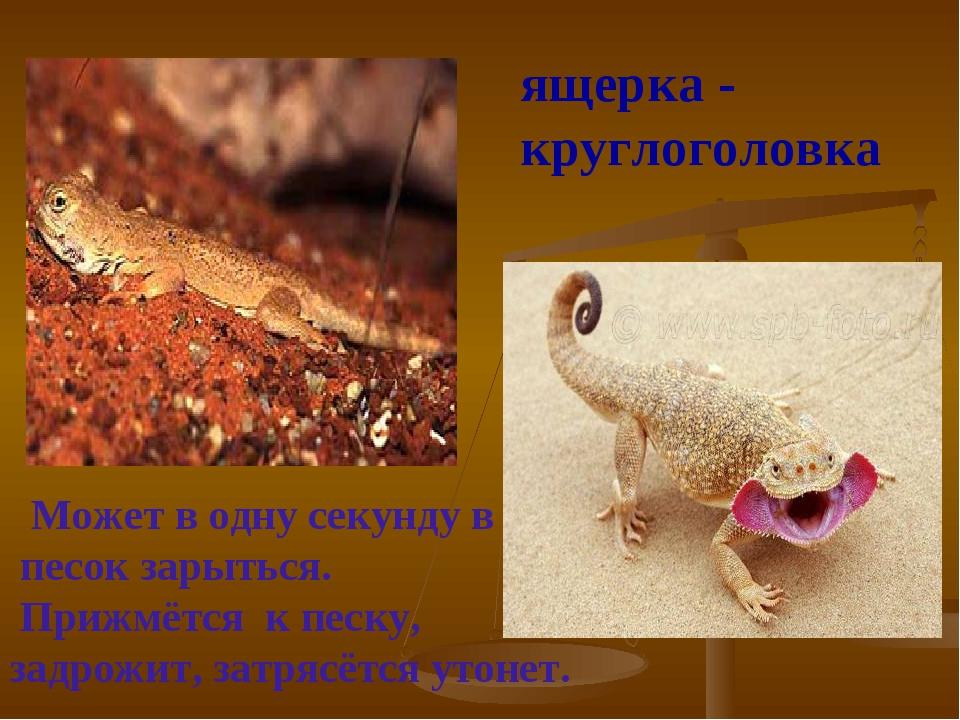 ящерка - круглоголовка Может в одну секунду в песок зарыться. Прижмётся к пес...