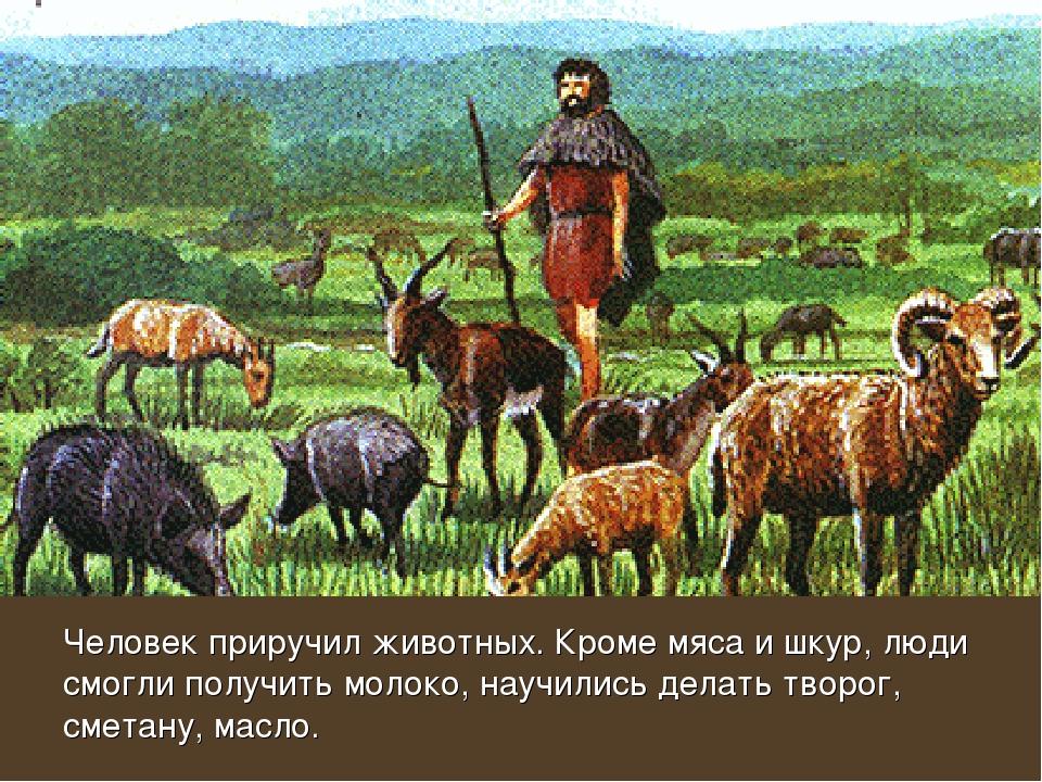 Человек приручил животных. Кроме мяса и шкур, люди смогли получить молоко, на...