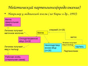 Мейотический партеногенез(продолжение) Например у медоносной пчелы ( по Барнс