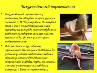 Искусственный партеногенез Искусственный партеногенез у животных был впервые