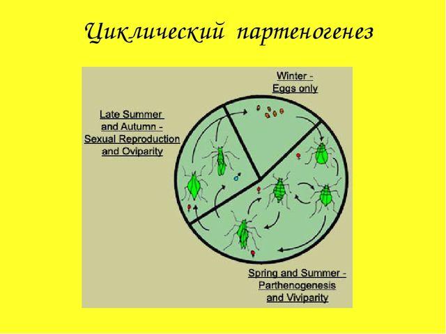 Циклический партеногенез