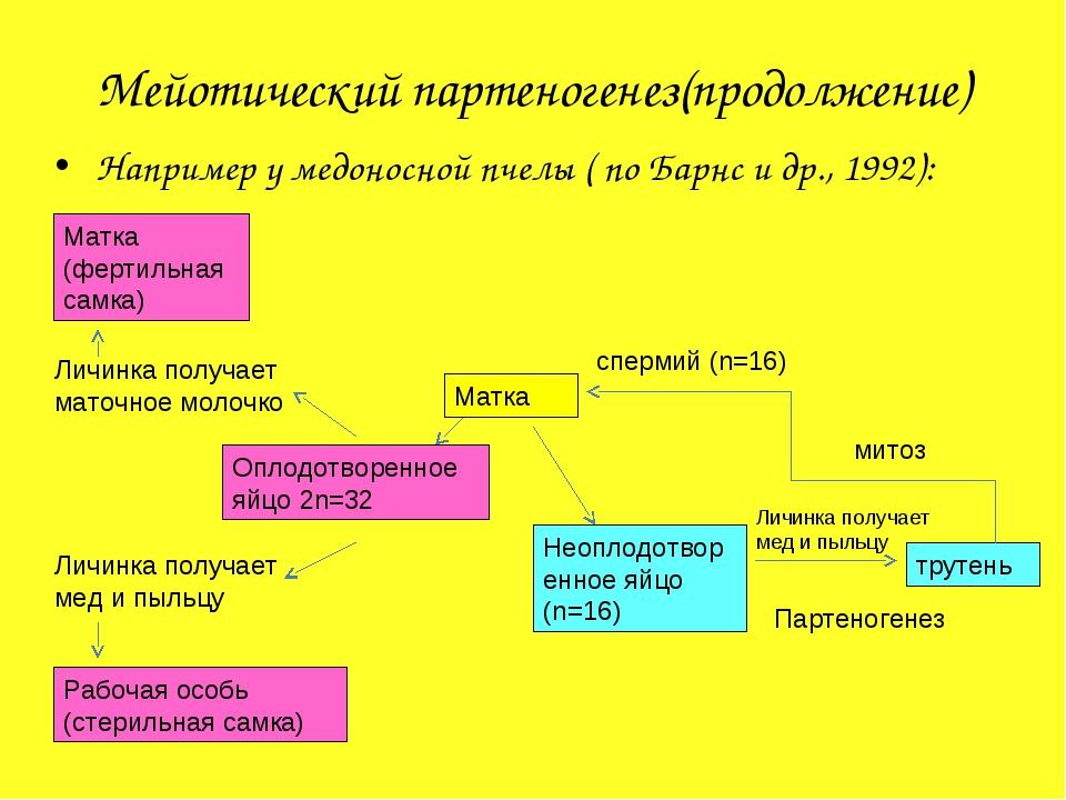 Мейотический партеногенез(продолжение) Например у медоносной пчелы ( по Барнс...