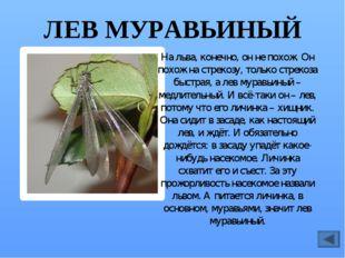 МАЙСКИЙ ЖУК Жук – опасный вредитель. Он обгрызает листья деревьев, особенно б