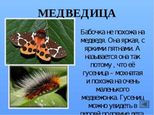 МЁРТВАЯ ГОЛОВА Такое страшное название бабочка получила потому, что на её спи