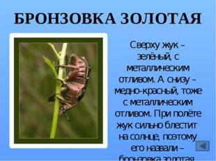 ГОЛУБЯНКА Название бабочка получила потому, что её крылья голубого цвета. Она