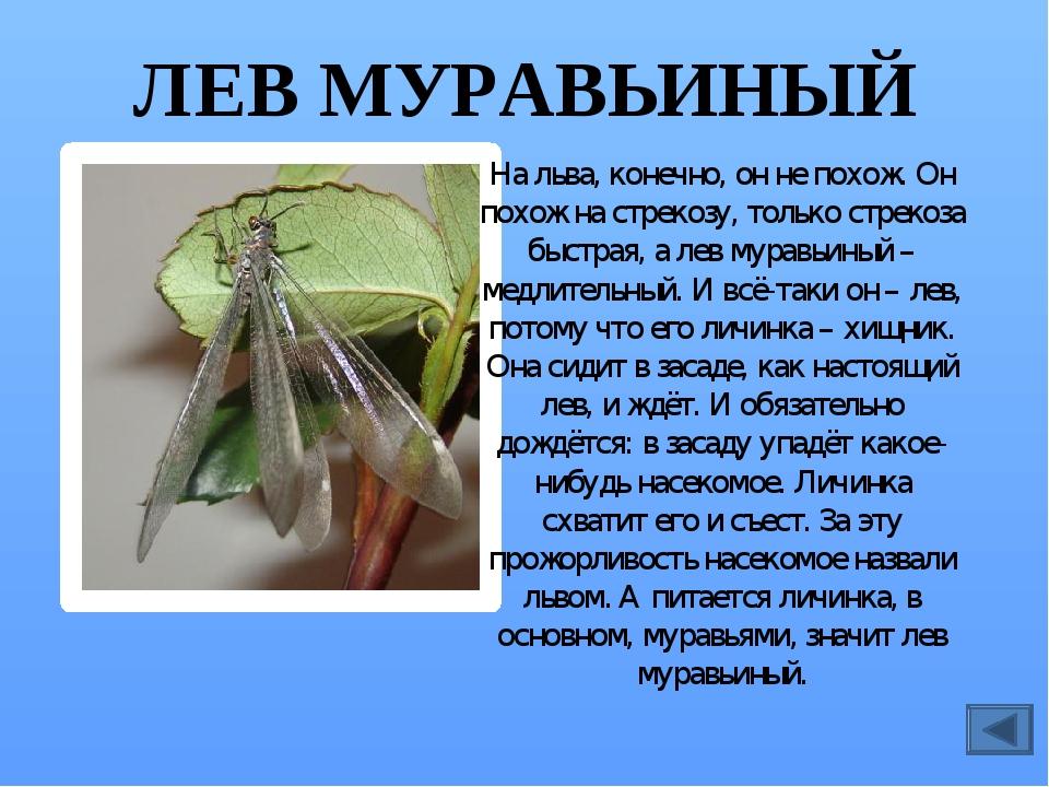 МАЙСКИЙ ЖУК Жук – опасный вредитель. Он обгрызает листья деревьев, особенно б...