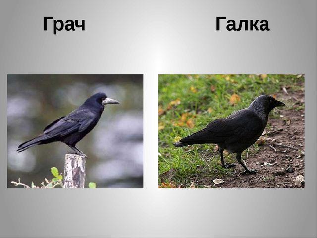 Грач Галка