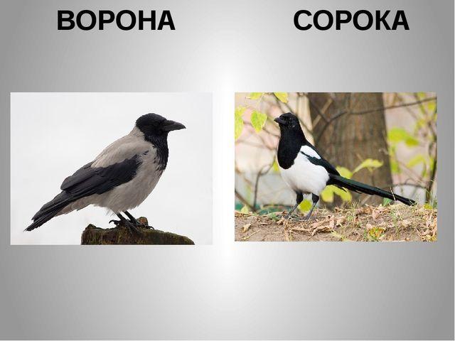 ВОРОНА СОРОКА